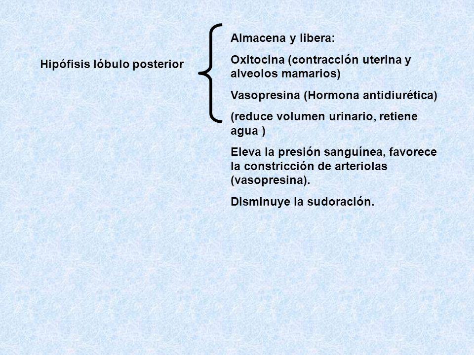 Hipófisis lóbulo posterior Almacena y libera: Oxitocina (contracción uterina y alveolos mamarios) Vasopresina (Hormona antidiurética) (reduce volumen