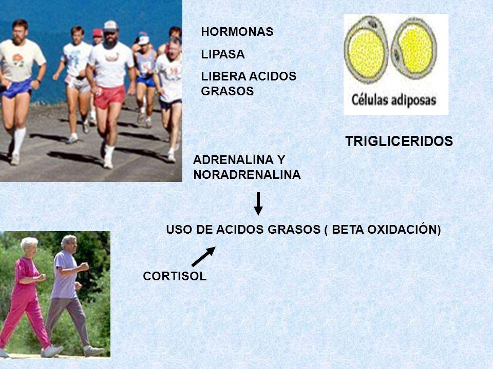 USO DE ACIDOS GRASOS ( BETA OXIDACIÓN) ADRENALINA Y NORADRENALINA TRIGLICERIDOS CORTISOL HORMONAS LIPASA LIBERA ACIDOS GRASOS