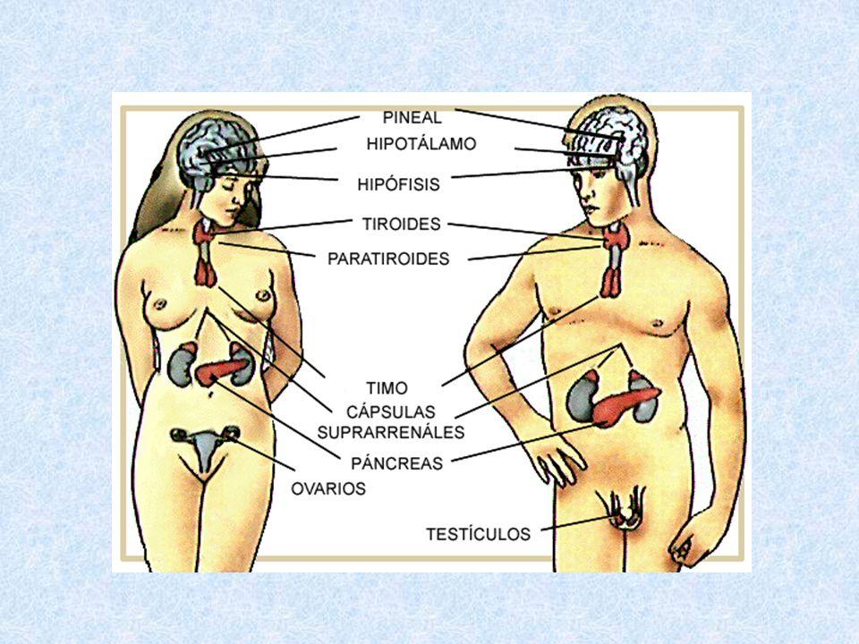 Factores liberadores (hormonas liberadoras hipotalámicas)