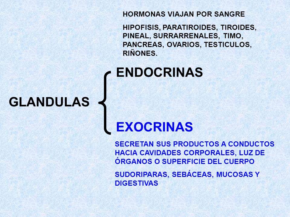 GLANDULAS ENDOCRINAS EXOCRINAS HORMONAS VIAJAN POR SANGRE HIPOFISIS, PARATIROIDES, TIROIDES, PINEAL, SURRARRENALES, TIMO, PANCREAS, OVARIOS, TESTICULO