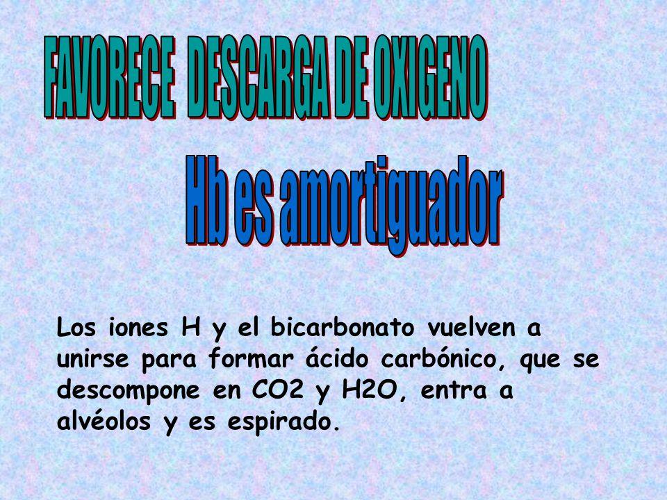 Los iones H y el bicarbonato vuelven a unirse para formar ácido carbónico, que se descompone en CO2 y H2O, entra a alvéolos y es espirado.
