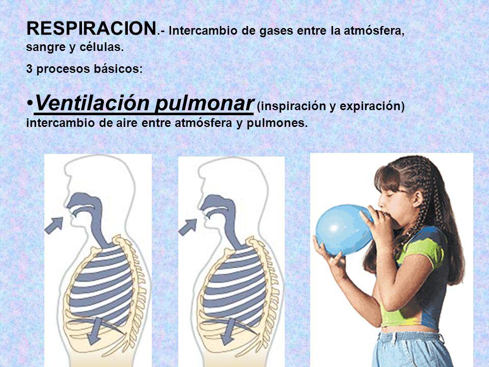 RESPIRACION.- Intercambio de gases entre la atmósfera, sangre y células. 3 procesos básicos: Ventilación pulmonar (inspiración y expiración) intercamb