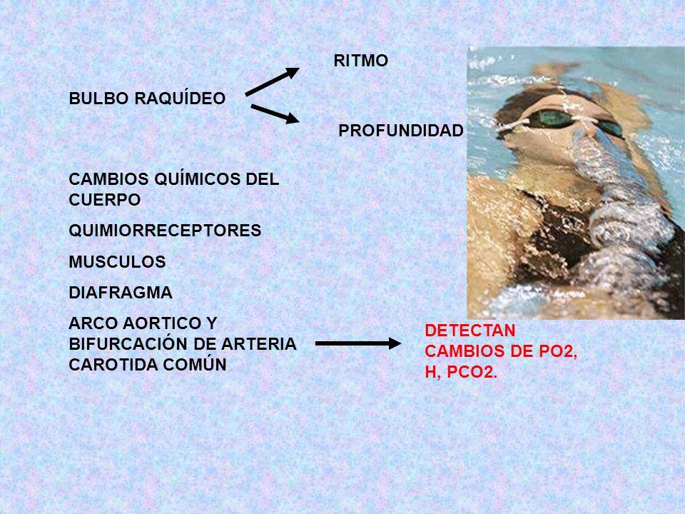 BULBO RAQUÍDEO RITMO PROFUNDIDAD CAMBIOS QUÍMICOS DEL CUERPO QUIMIORRECEPTORES MUSCULOS DIAFRAGMA ARCO AORTICO Y BIFURCACIÓN DE ARTERIA CAROTIDA COMÚN