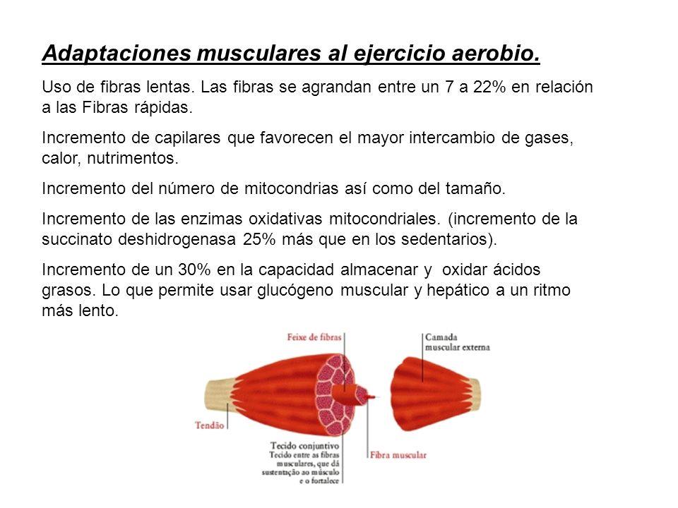 Adaptaciones musculares al ejercicio aerobio. Uso de fibras lentas. Las fibras se agrandan entre un 7 a 22% en relación a las Fibras rápidas. Incremen