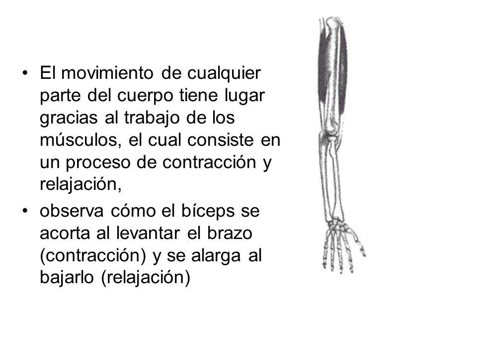 El movimiento de cualquier parte del cuerpo tiene lugar gracias al trabajo de los músculos, el cual consiste en un proceso de contracción y relajación
