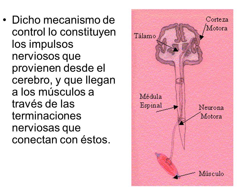 Dicho mecanismo de control lo constituyen los impulsos nerviosos que provienen desde el cerebro, y que llegan a los músculos a través de las terminaci