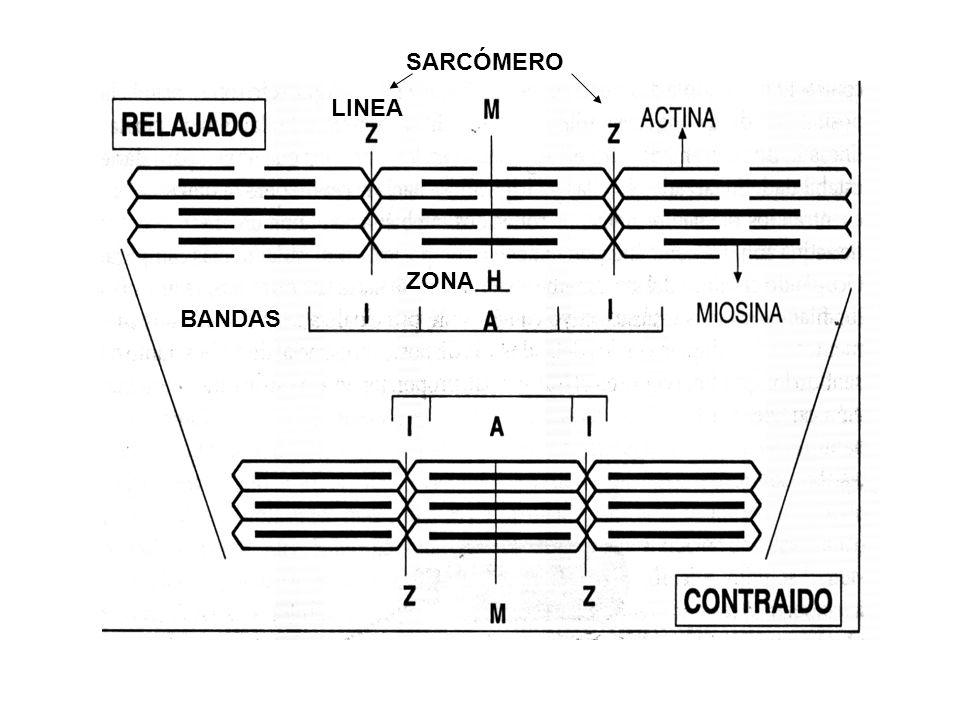 BANDAS LINEA ZONA SARCÓMERO