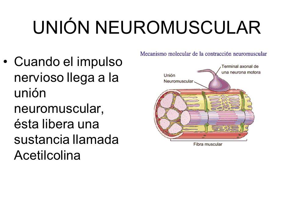 UNIÓN NEUROMUSCULAR Cuando el impulso nervioso llega a la unión neuromuscular, ésta libera una sustancia llamada Acetilcolina