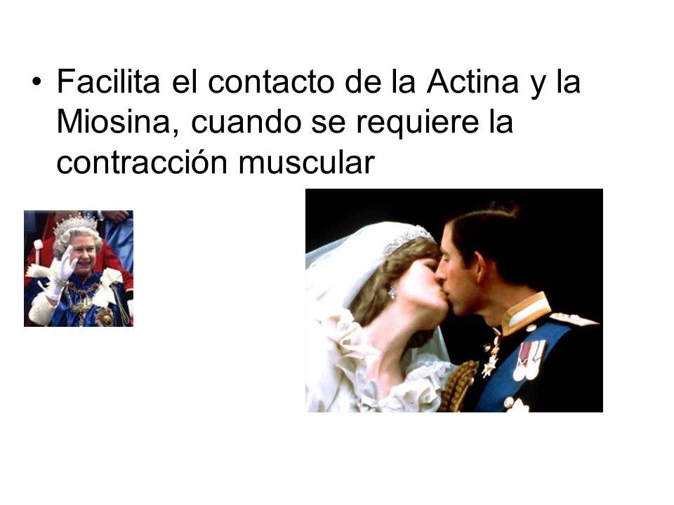 Facilita el contacto de la Actina y la Miosina, cuando se requiere la contracción muscular