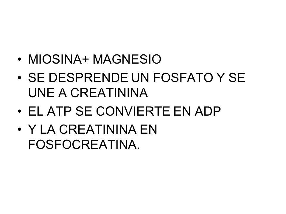 MIOSINA+ MAGNESIO SE DESPRENDE UN FOSFATO Y SE UNE A CREATININA EL ATP SE CONVIERTE EN ADP Y LA CREATININA EN FOSFOCREATINA.