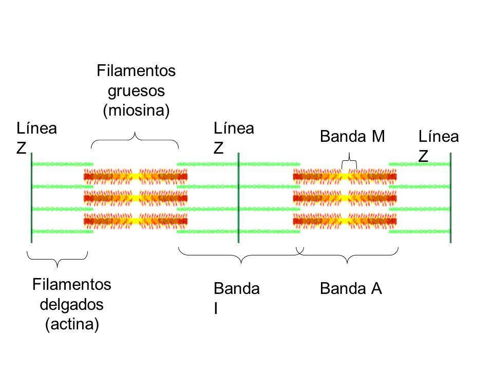 Filamentos delgados (actina) Filamentos gruesos (miosina) Banda A Banda M Banda I Línea Z