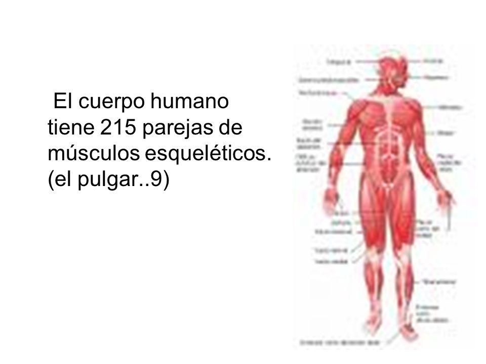 El cuerpo humano tiene 215 parejas de músculos esqueléticos. (el pulgar..9)