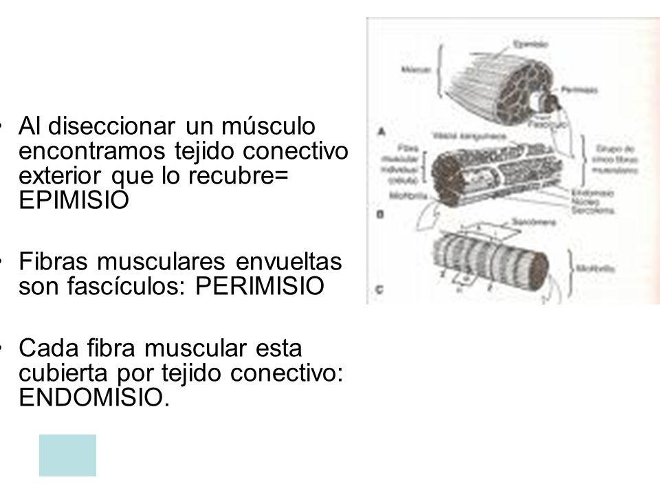 Al diseccionar un músculo encontramos tejido conectivo exterior que lo recubre= EPIMISIO Fibras musculares envueltas son fascículos: PERIMISIO Cada fi