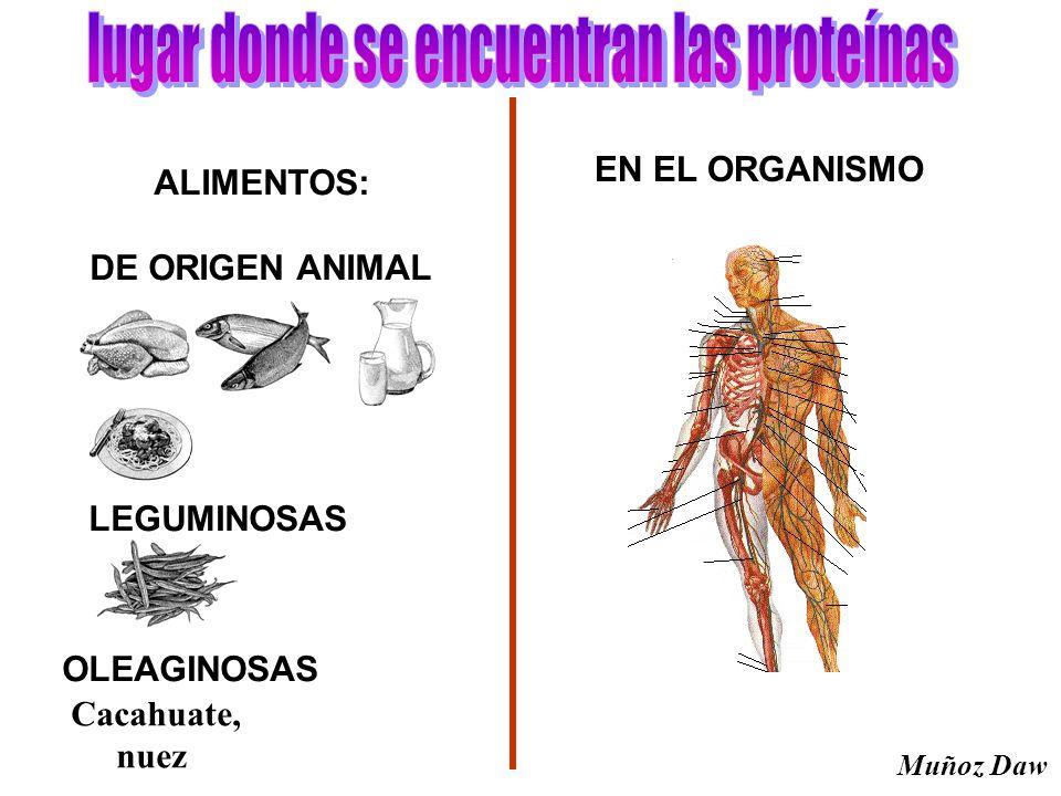 ALIMENTOS: DE ORIGEN ANIMAL LEGUMINOSAS OLEAGINOSAS Cacahuate, nuez EN EL ORGANISMO Muñoz Daw