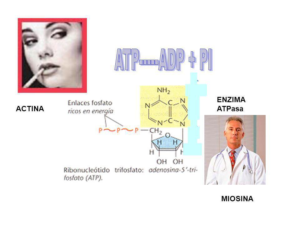 ENZIMA ATPasa MIOSINA ACTINA