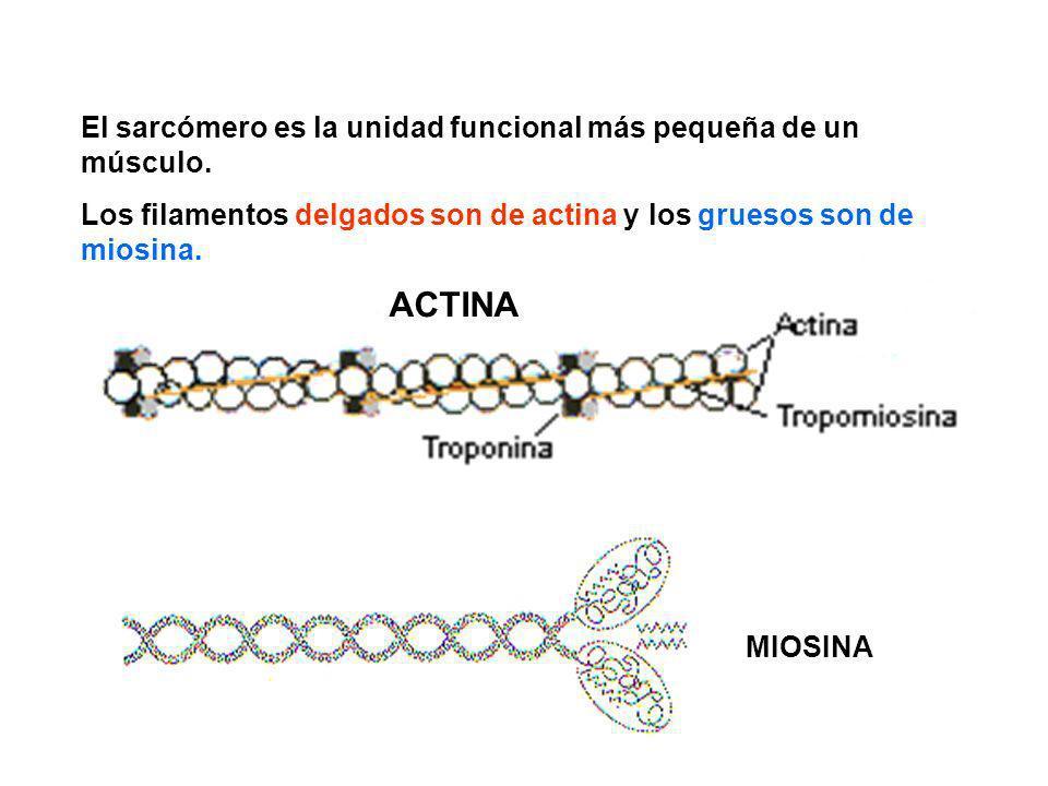 El sarcómero es la unidad funcional más pequeña de un músculo. Los filamentos delgados son de actina y los gruesos son de miosina. MIOSINA ACTINA
