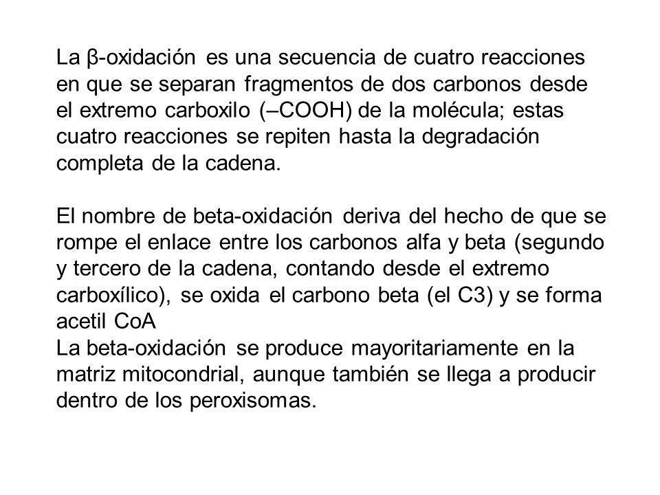 La β-oxidación es una secuencia de cuatro reacciones en que se separan fragmentos de dos carbonos desde el extremo carboxilo (–COOH) de la molécula; e