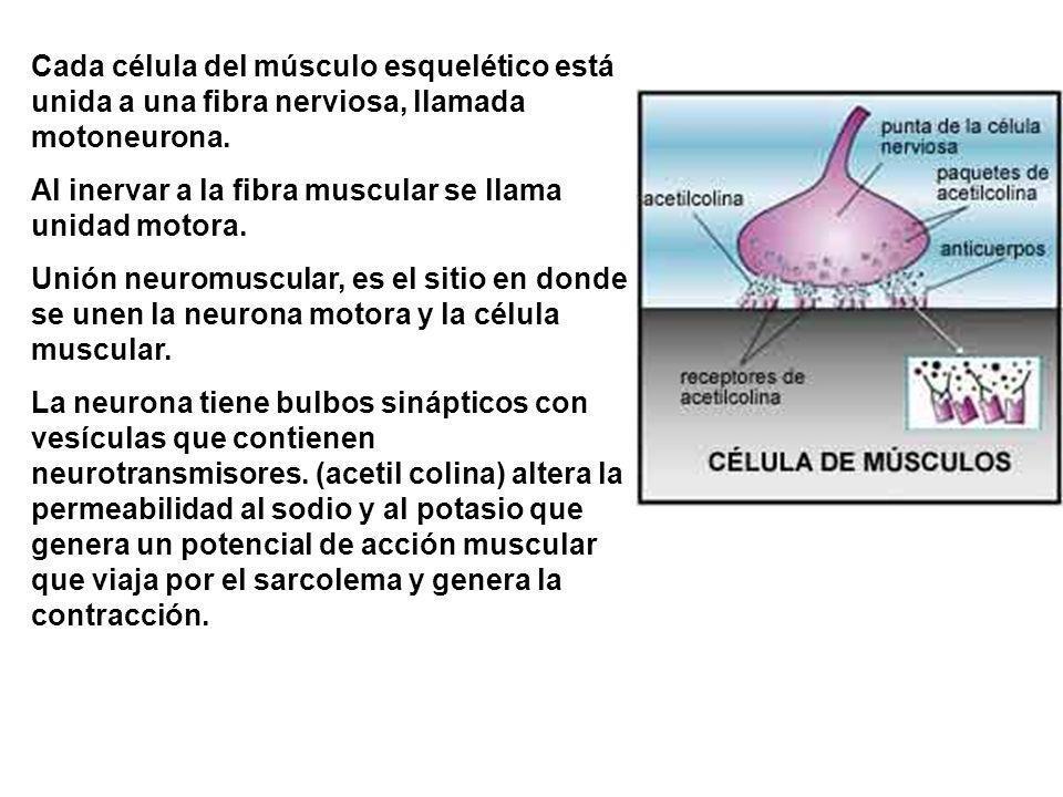 Cada célula del músculo esquelético está unida a una fibra nerviosa, llamada motoneurona. Al inervar a la fibra muscular se llama unidad motora. Unión