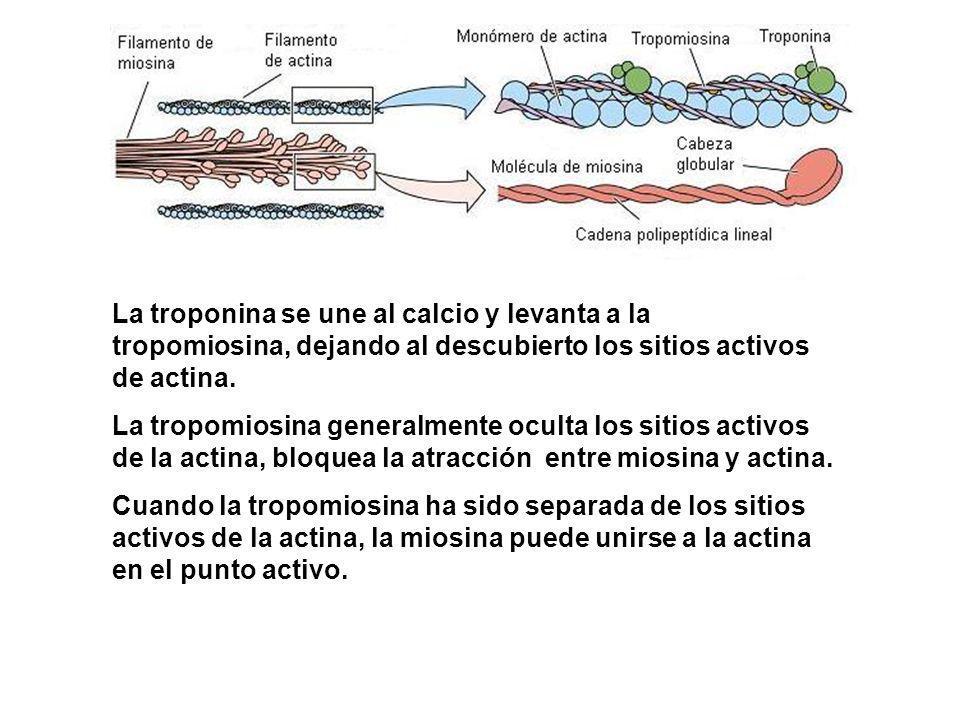 La troponina se une al calcio y levanta a la tropomiosina, dejando al descubierto los sitios activos de actina. La tropomiosina generalmente oculta lo