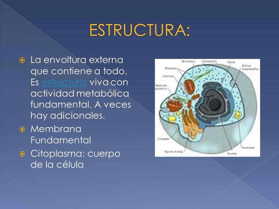 La envoltura externa que contiene a todo.Es estructura viva con actividad metabólica fundamental.