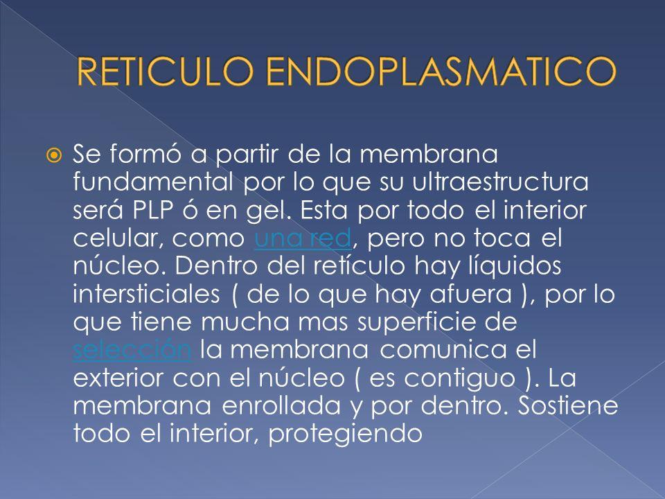 Se formó a partir de la membrana fundamental por lo que su ultraestructura será PLP ó en gel.