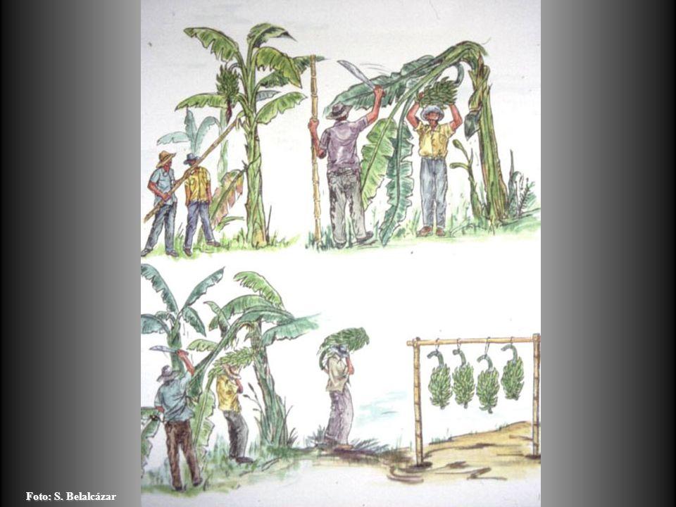 TRATAMIENTOS DEFOLIACIONES PROGRESIVAS EPOCADEFOLIACION NÚMERO DE HOJAS A DEJAR POR PLANTA IIIIII Belloteo81012 2 sdb 7911 4 Sdb 6810 6 sdb 579 8 sdb 468 10 sdb 357 12 Sdb 246 14 sdb 135 Fuente: Mejoramiento de la producción del cultivo del plátano, 1995.