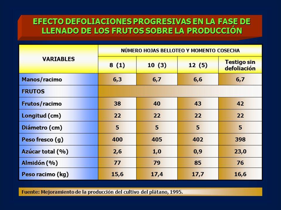 EFECTO DEFOLIACIONES PROGRESIVAS EN LA FASE DE LLENADO DE LOS FRUTOS SOBRE LA PRODUCCIÓN VARIABLES NÚMERO HOJAS BELLOTEO Y MOMENTO COSECHA 8 (1) 10 (3) 12 (5) Testigo sin defoliación Manos/racimo6,36,76,66,7 FRUTOS Frutos/racimo38404342 Longitud (cm) 22 Diámetro (cm) 5555 Peso fresco (g) 400405402398 Azúcar total (%) 2,61,00,923,0 Almidón (%) 77798576 Peso racimo (kg) 15,617,417,716,6 Fuente: Mejoramiento de la producción del cultivo del plátano, 1995.
