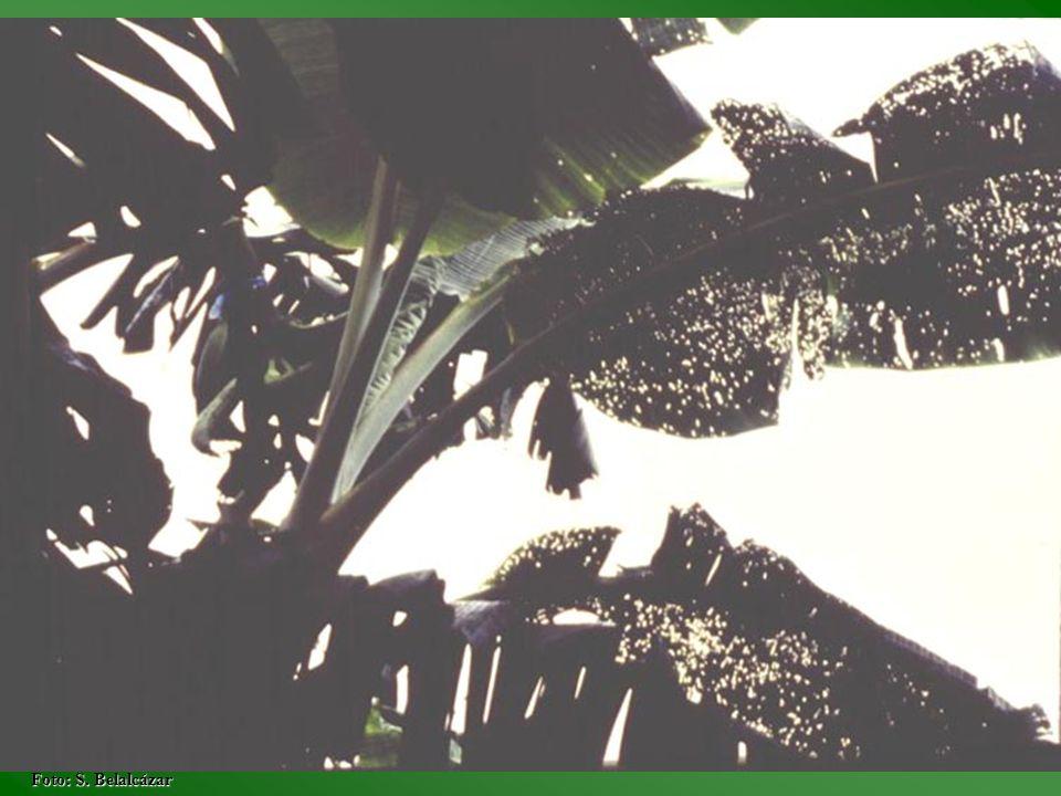 Epoca Porcentaje Defoliación Hojas Emitidas 0255075100 43,63,83,63,73,6 83,83,73,83,73,8 123,63,73,63,73,8 163,6 3,73,6 203,7 3,63,53,4 243,7 3,53,4 283,53,73,43,53,2 323,73,6 3,5 Fuente: Generación de tecnología para el cultivo y producción rentable del cultivo del plátano en la zona cafetera central colombiana, 1990.