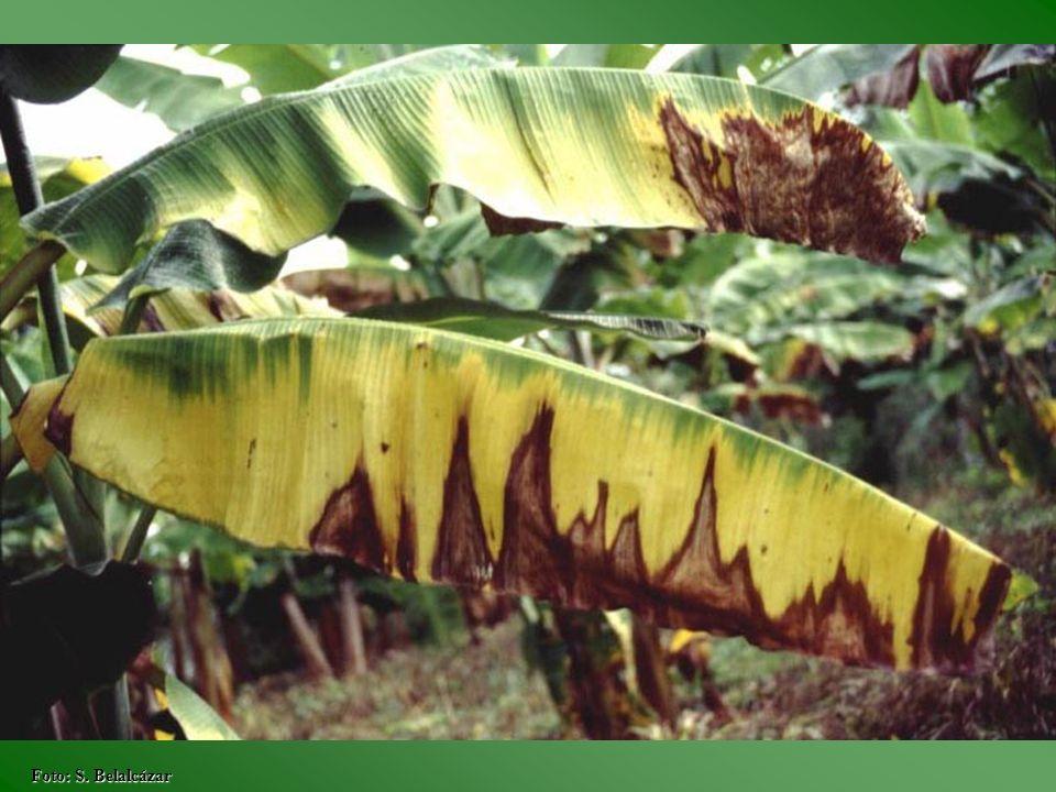 EPOCA PORCENTAJE DE DEFOLIACIÓN Hojas emitidas 0255075100 4373837 83938 39 1238 373840 1637 3839 2038 3738 2438 2838 37 38 32383738 37 Fuente: Generación de tecnología para el cultivo y producción rentable del cultivo del plátano en la zona cafetera central colombiana, 1990.