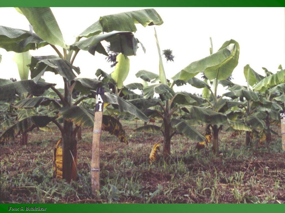 Epoca Porcentaje de defoliación Hojas emitidas 0255075100 45357535753 85552545652 125749555450 165855 54 205355525145 245055544937 285254555244 325655 51 Fuente: Generación de tecnología para el cultivo y producción rentable del cultivo del plátano en la zona cafetera central colombiana, 1990.