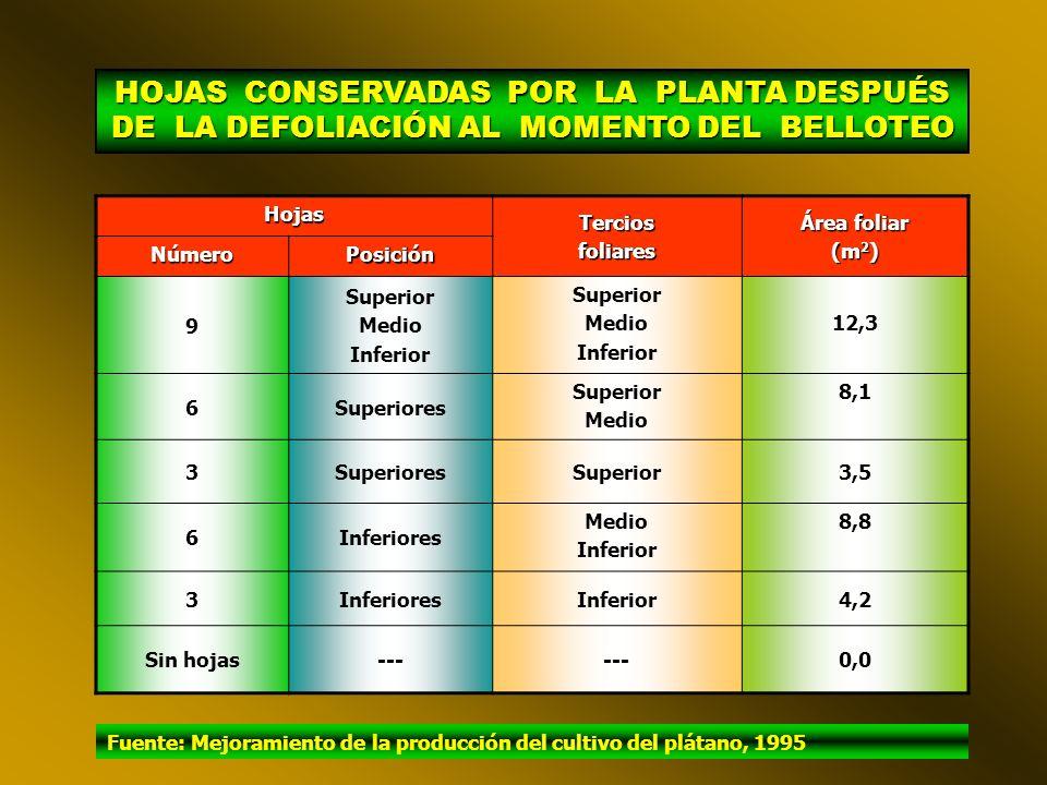 HOJAS CONSERVADAS POR LA PLANTA DESPUÉS DE LA DEFOLIACIÓN AL MOMENTO DEL BELLOTEO HojasTerciosfoliares Área foliar (m 2 ) NúmeroPosición 9 Superior Medio Inferior Superior Medio Inferior 12,3 6Superiores Superior Medio 8,1 3SuperioresSuperior3,5 6Inferiores Medio Inferior 8,8 3InferioresInferior4,2 Sin hojas--- 0,0 Fuente: Mejoramiento de la producción del cultivo del plátano, 1995