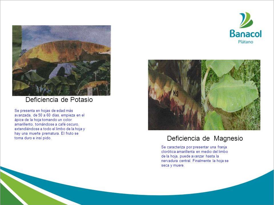 Deficiencia de Potasio Deficiencia de Magnesio Se presenta en hojas de edad más avanzada, de 50 a 60 días, empieza en el ápice de la hoja tomando un c