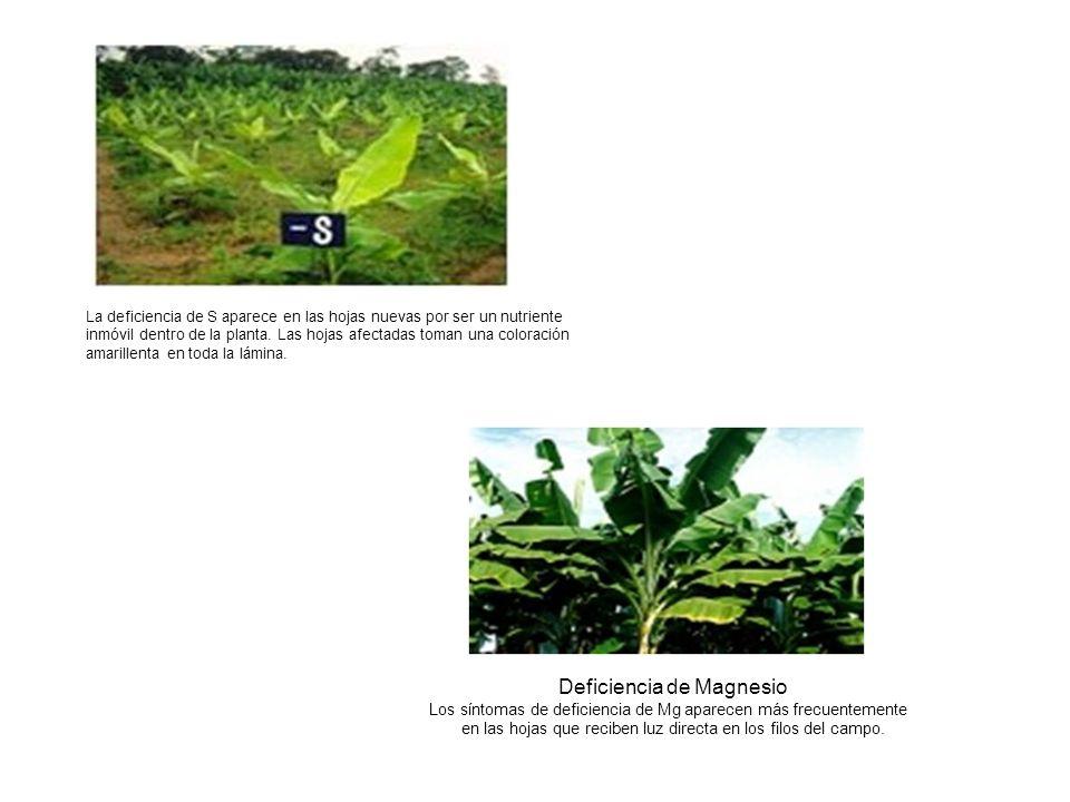 La deficiencia de S aparece en las hojas nuevas por ser un nutriente inmóvil dentro de la planta. Las hojas afectadas toman una coloración amarillenta