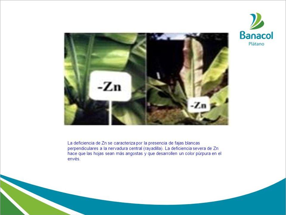 La deficiencia de Zn se caracteriza por la presencia de fajas blancas perpendiculares a la nervadura central (rayadilla). La deficiencia severa de Zn