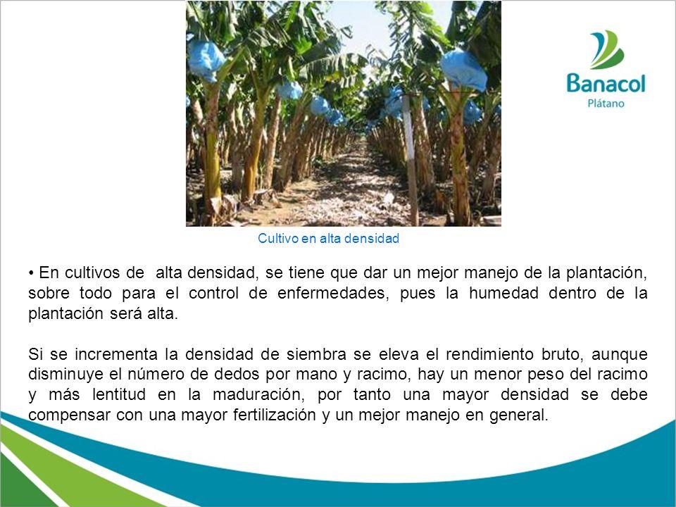 En cultivos de alta densidad, se tiene que dar un mejor manejo de la plantación, sobre todo para el control de enfermedades, pues la humedad dentro de