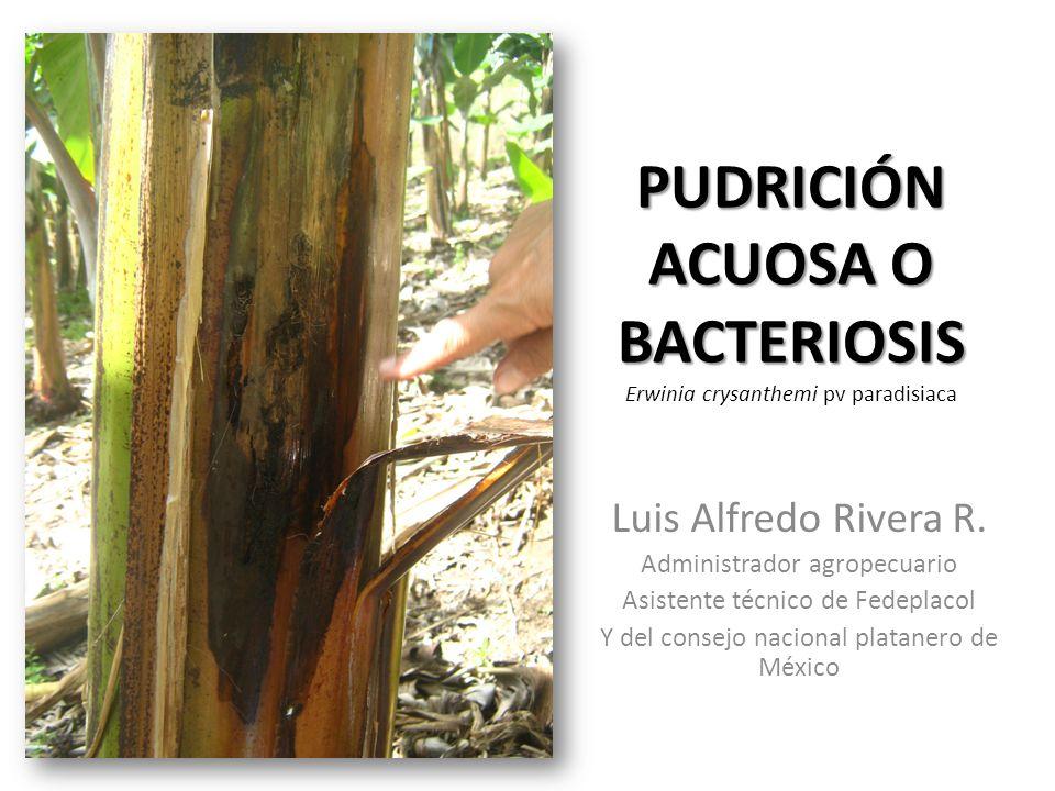 PUDRICIÓN ACUOSA O BACTERIOSIS PUDRICIÓN ACUOSA O BACTERIOSIS Erwinia crysanthemi pv paradisiaca Luis Alfredo Rivera R. Administrador agropecuario Asi