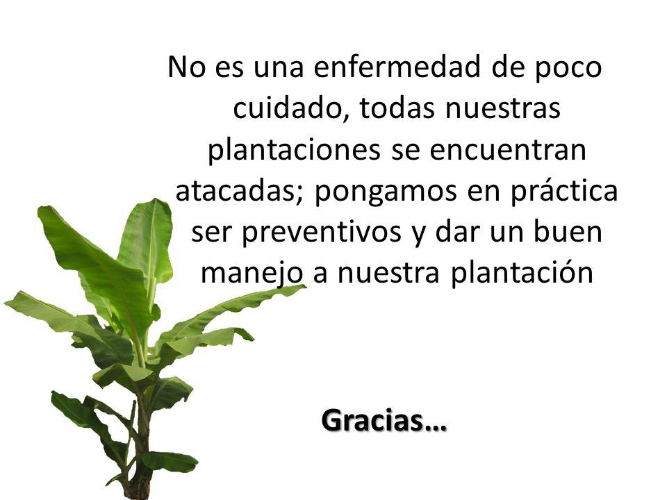 No es una enfermedad de poco cuidado, todas nuestras plantaciones se encuentran atacadas; pongamos en práctica ser preventivos y dar un buen manejo a