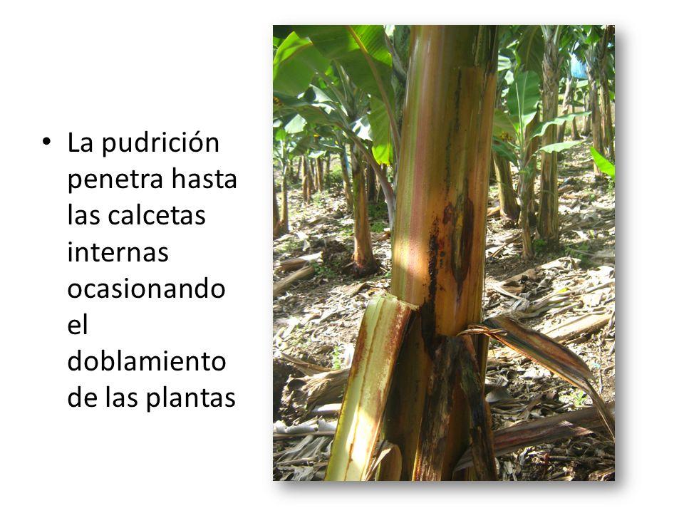 La pudrición penetra hasta las calcetas internas ocasionando el doblamiento de las plantas