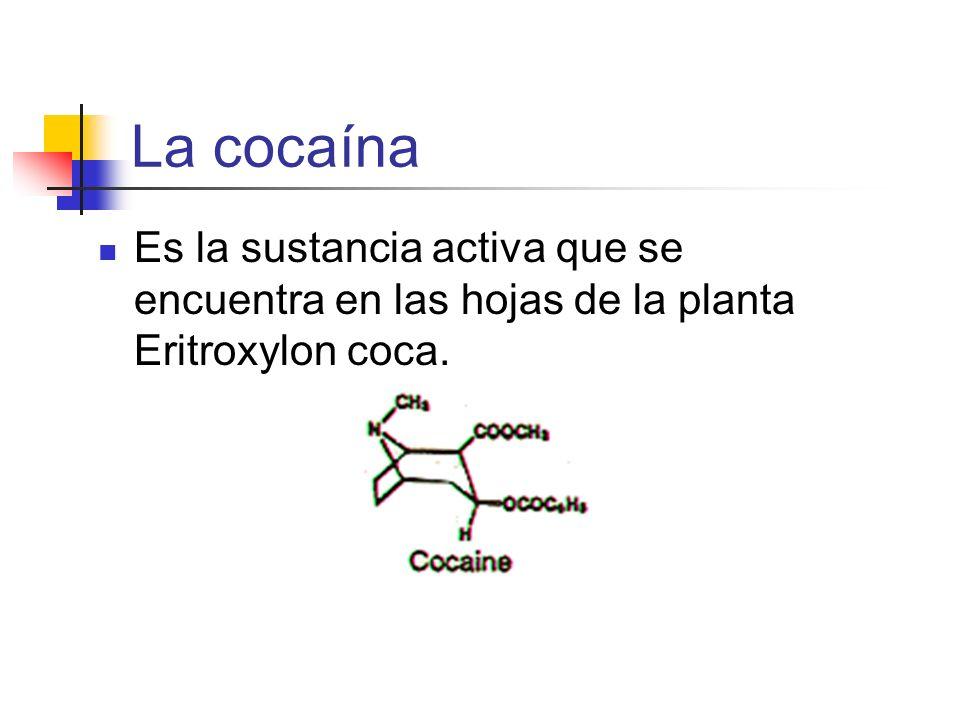 La cocaína Es la sustancia activa que se encuentra en las hojas de la planta Eritroxylon coca.