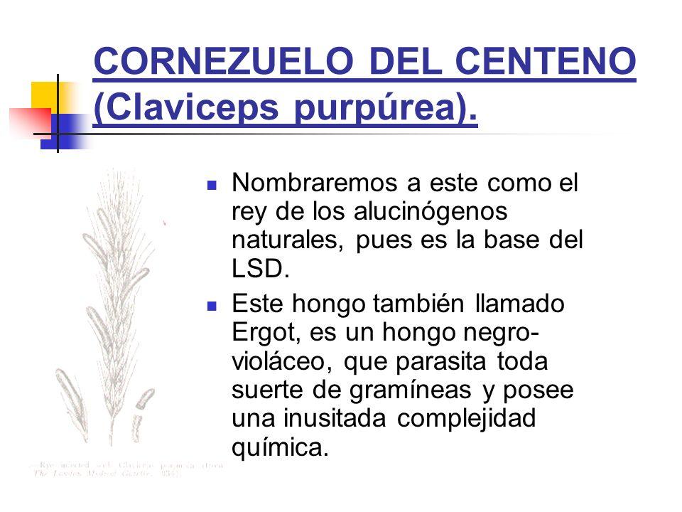 CORNEZUELO DEL CENTENO (Claviceps purpúrea). Nombraremos a este como el rey de los alucinógenos naturales, pues es la base del LSD. Este hongo también