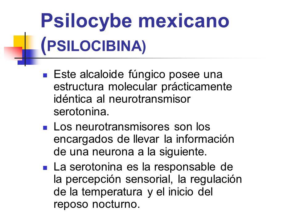 Psilocybe mexicano ( PSILOCIBINA) Este alcaloide fúngico posee una estructura molecular prácticamente idéntica al neurotransmisor serotonina. Los neur