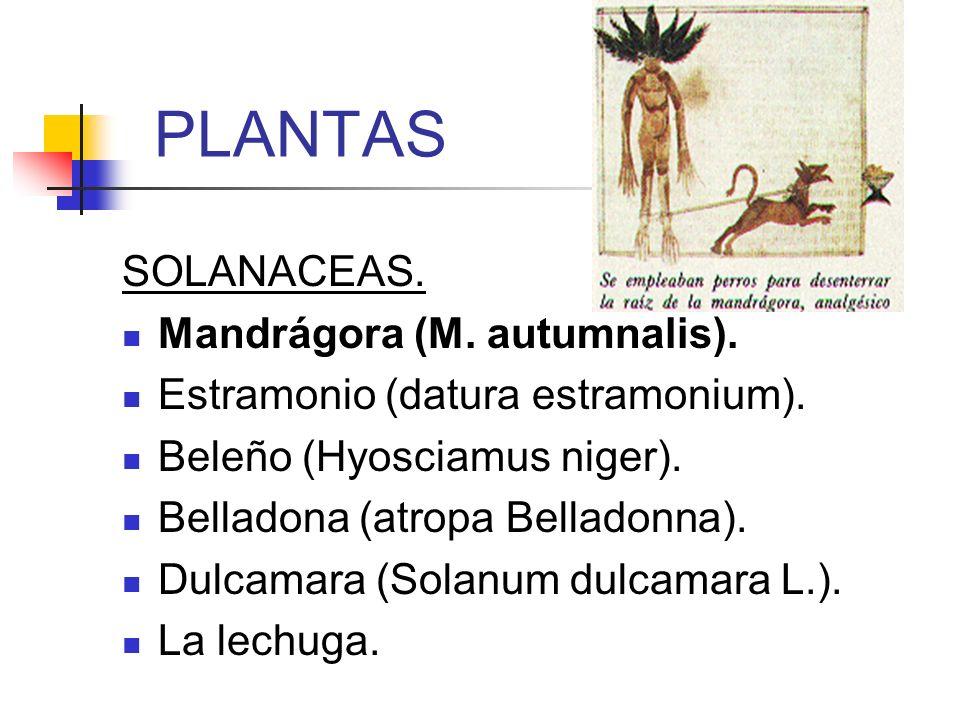PLANTAS SOLANACEAS. Mandrágora (M. autumnalis). Estramonio (datura estramonium). Beleño (Hyosciamus niger). Belladona (atropa Belladonna). Dulcamara (