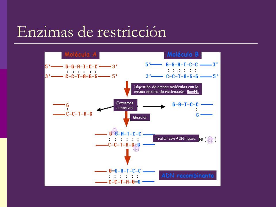 Enzimas de restricción Molécula AMolécula B Digestión de ambas moléculas con la misma enzima de restricción, BamHI Mezclar Tratar con ADN-ligasa ADN r
