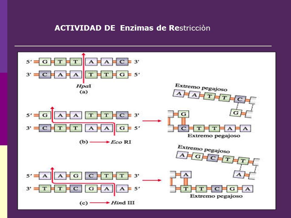 ACTIVIDAD DE Enzimas de Restricciòn