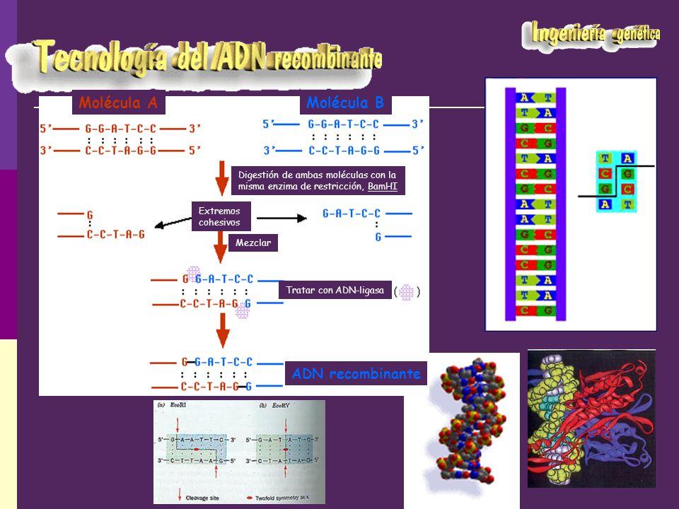 Molécula AMolécula B Digestión de ambas moléculas con la misma enzima de restricción, BamHI Mezclar Tratar con ADN-ligasa ADN recombinante Extremos co