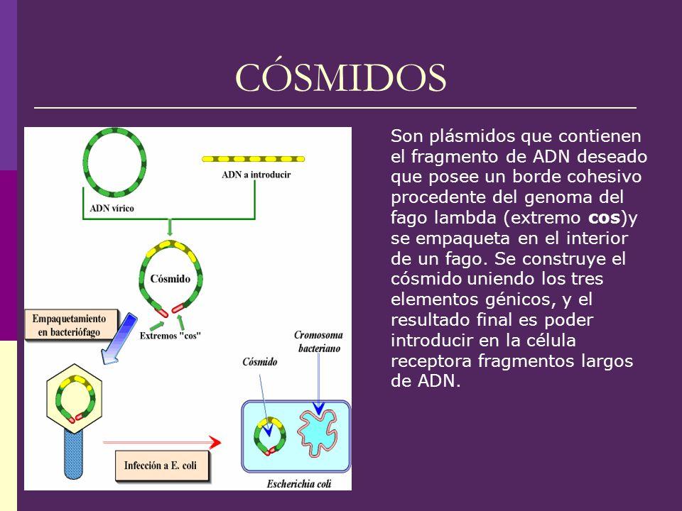 CÓSMIDOS Son plásmidos que contienen el fragmento de ADN deseado que posee un borde cohesivo procedente del genoma del fago lambda (extremo cos)y se e