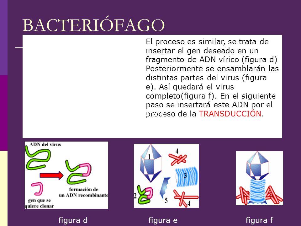 BACTERIÓFAGO El proceso es similar, se trata de insertar el gen deseado en un fragmento de ADN vírico (figura d) Posteriormente se ensamblarán las dis