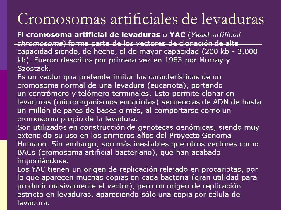 Cromosomas artificiales de levaduras El cromosoma artificial de levaduras o YAC (Yeast artificial chromosome) forma parte de los vectores de clonación