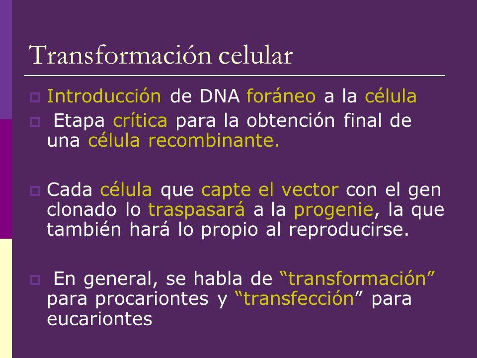 Transformación celular Introducción de DNA foráneo a la célula Etapa crítica para la obtención final de una célula recombinante. Cada célula que capte