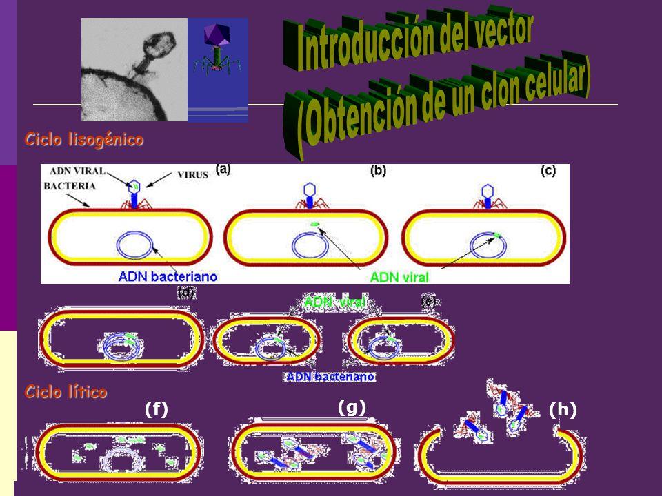 (f) (h) (g) Ciclo lítico Ciclo lisogénico
